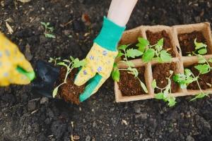 Replanting tomatoes