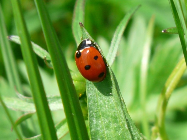 ladybug-54311_1920