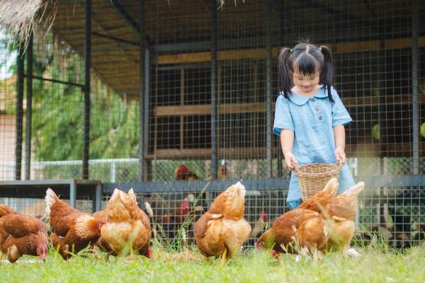 Happy little girl feeding chickens in the farm. Farming, Pet, Ha